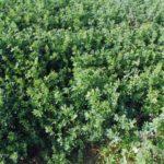 Alfalfa Crop Rotation