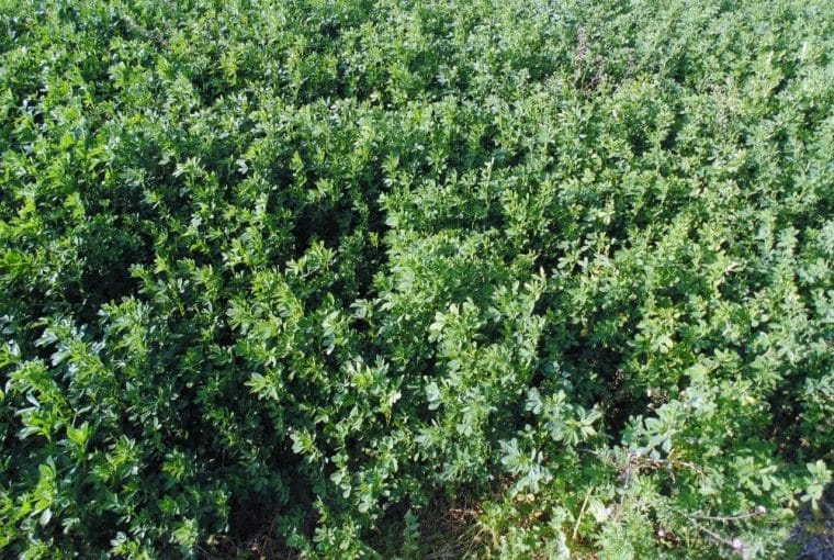 Alfalfa Crop Rotation