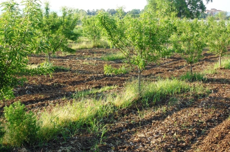 How to irrigate Almond Trees
