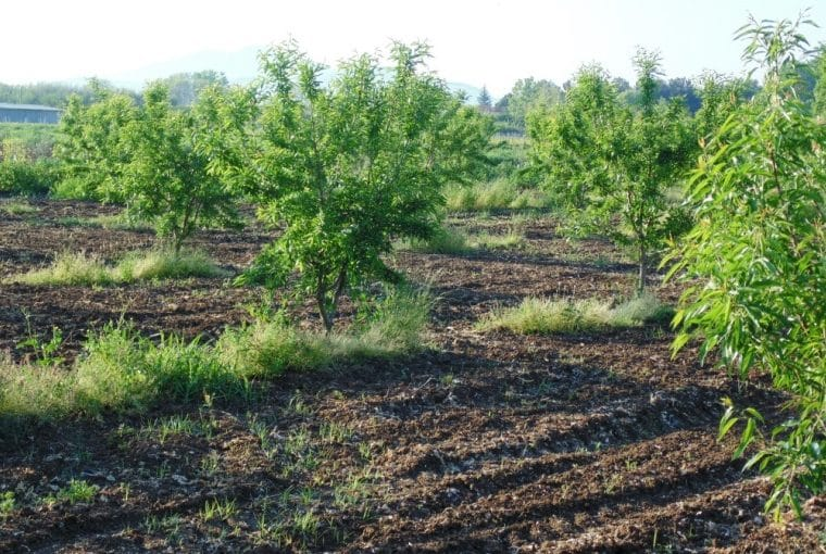 Almond Tree Diseases & Pests