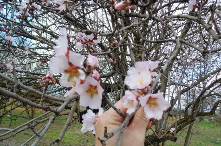 How to pollinate Almond Trees