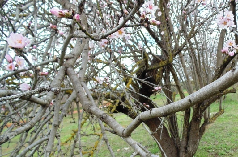 How to prune Almond Trees