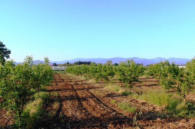 Almond Tree Soil Preparation