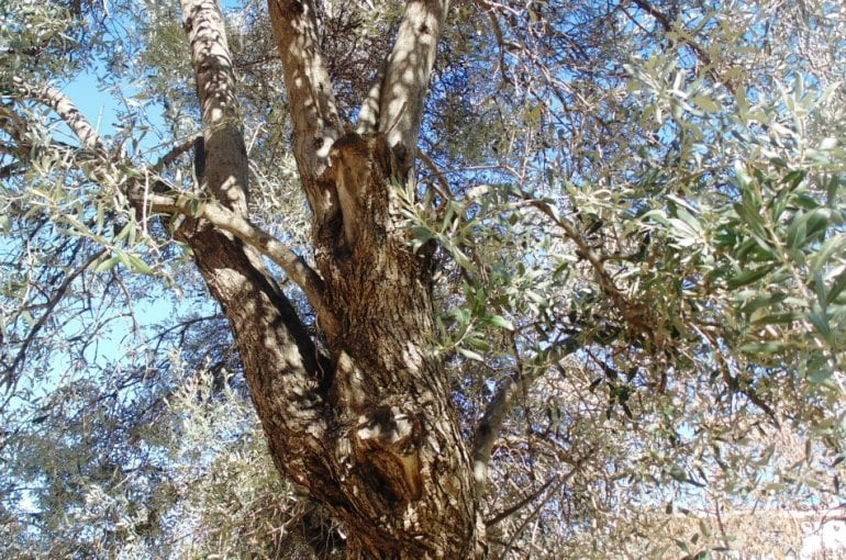 Alternate Bearing Olive