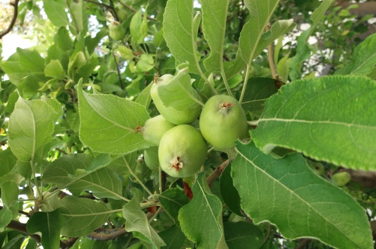 Apple Tree Fertilizer Requirements