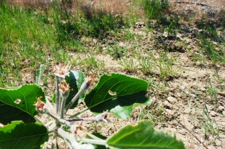 Apple Tree Soil Requirements