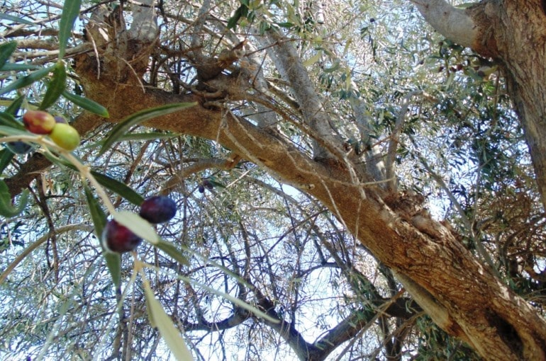 Are Olive Farms Profitable Wikifarmer