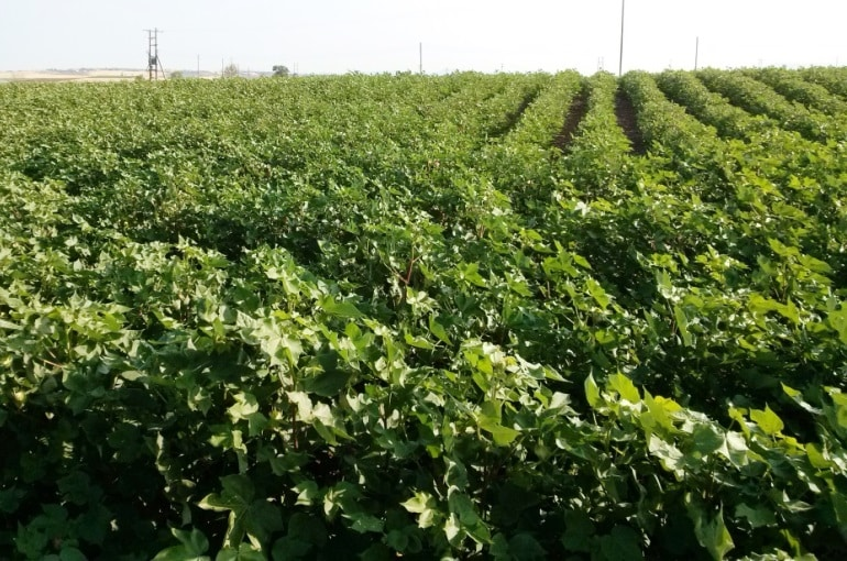 Cotton Climate and Soil Requirements