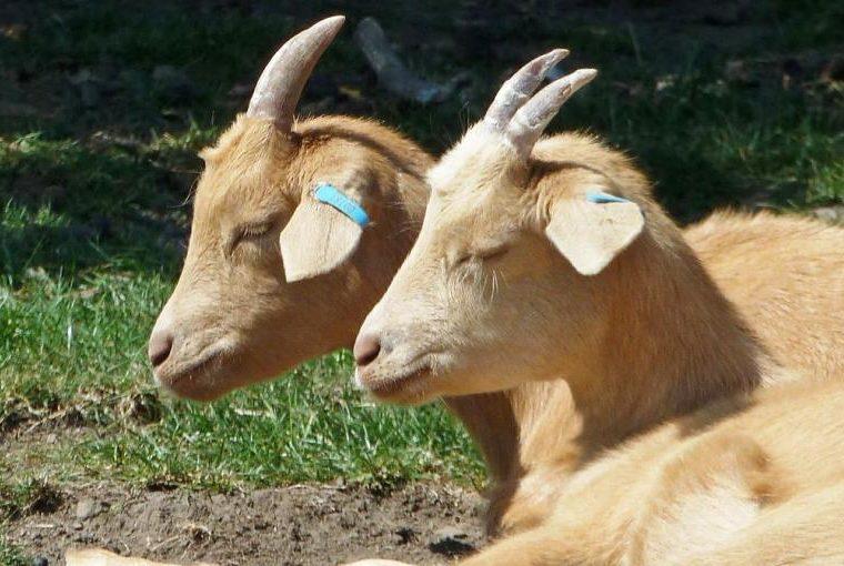 Goat Manure Waste Production