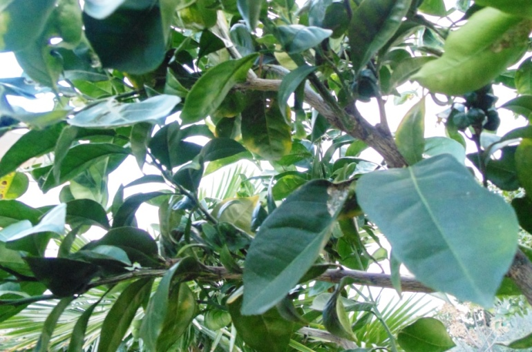 Growing Orange Trees from Cuttings