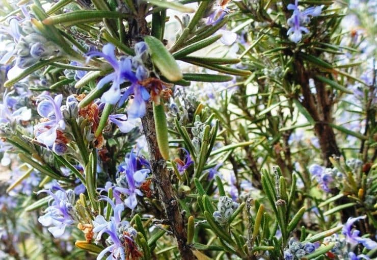 How to grow Rosemary at home