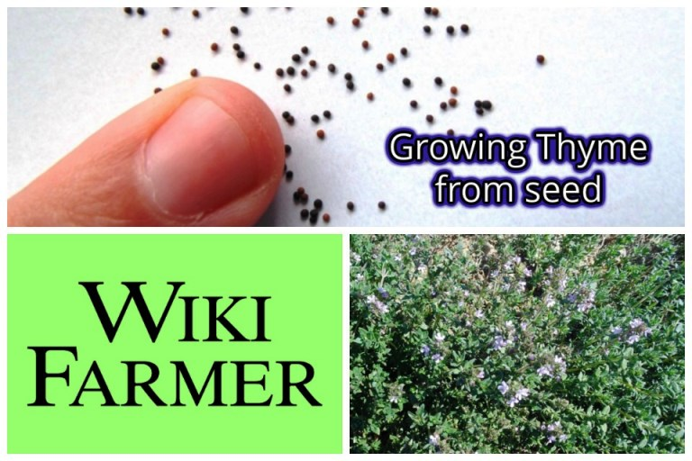 How to grow Thyme from sees