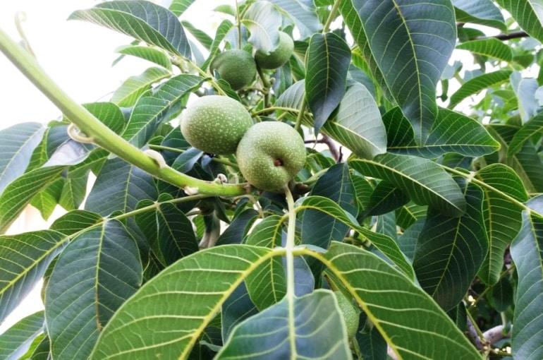 Informa es sobre a rvore de noz wikifarmer - Growing french walnuts for a profit ...