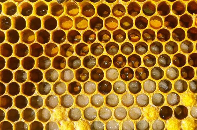 How do bees produce honey