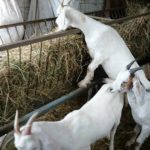 Types of Goats Feed
