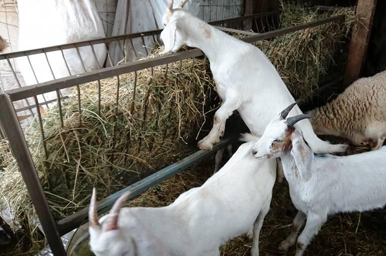 बकरे को क्या खिलाना चाहिए - Wikifarmer