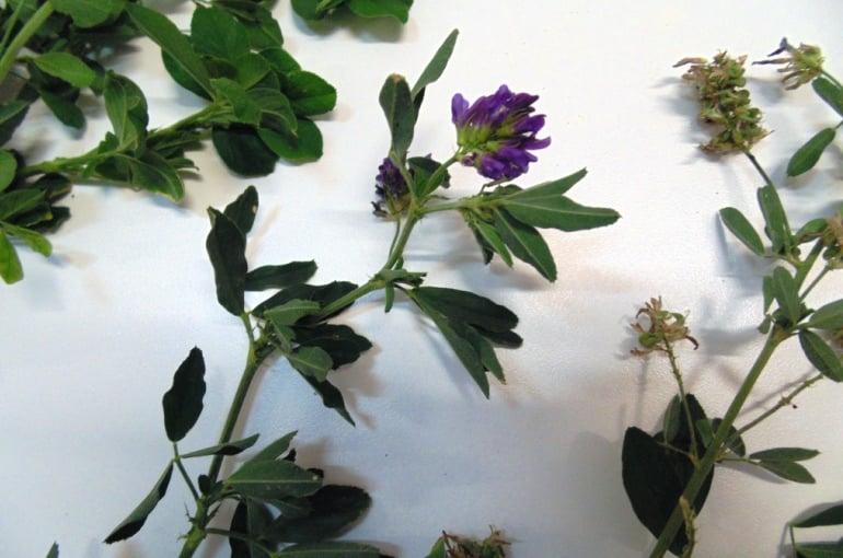 How to grow Alfalfa