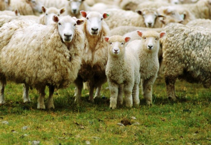 Can I make money from managing sheep?