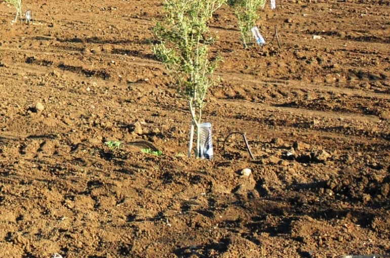Olive Tree Soil Conditions