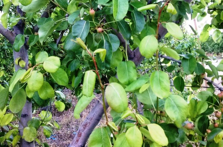 Pear Tree Climate Conditions Wikifarmer