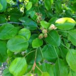 How to fertilize Pear Trees
