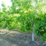 Pear Tree Irrigation