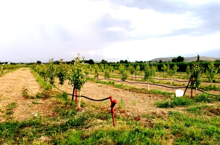 Image result for preparing the land for pear farming