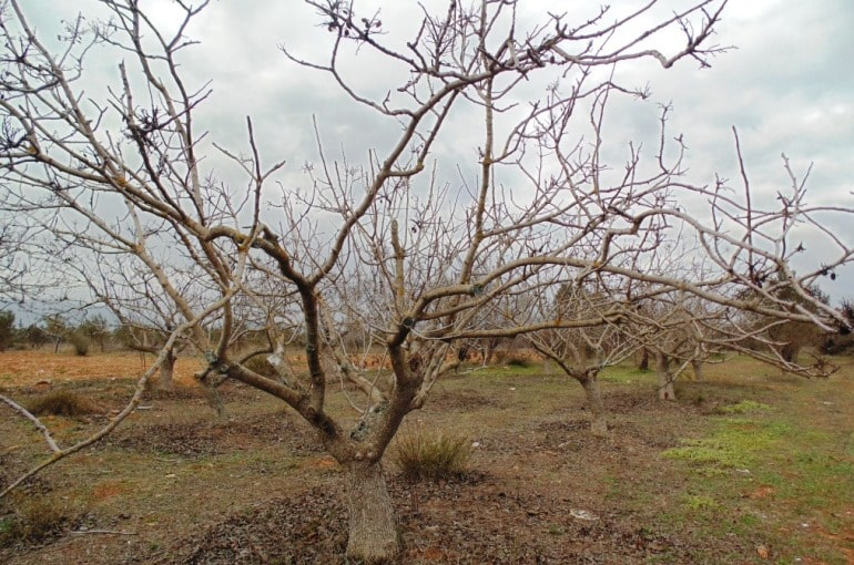 Pistachio Tree Climate Conditions