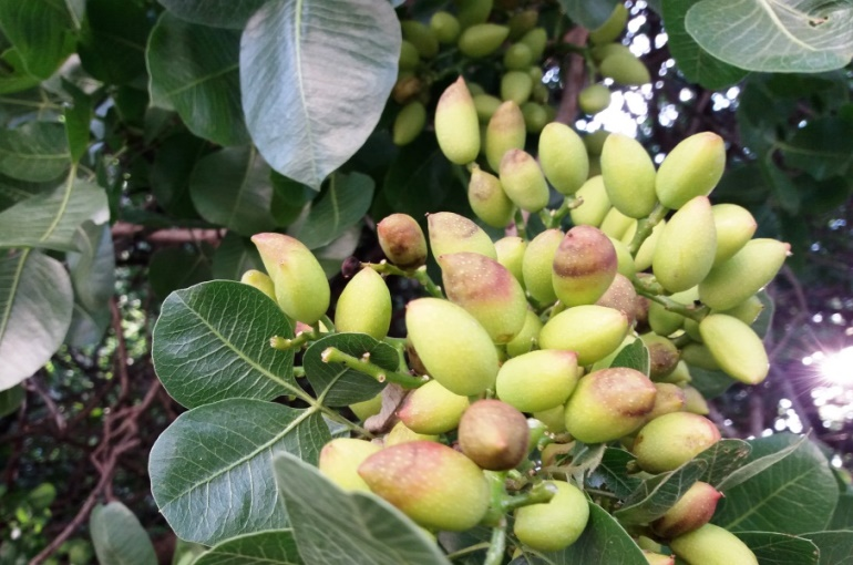Pistachio Tree Diseases and Pests