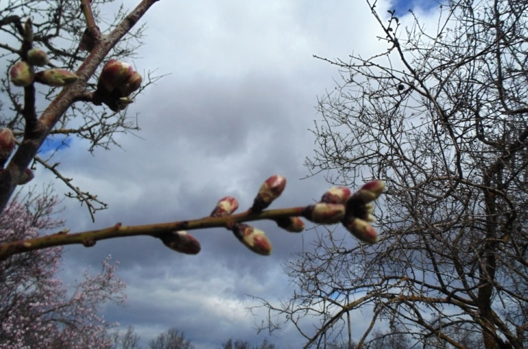 Almond Tree Propagation