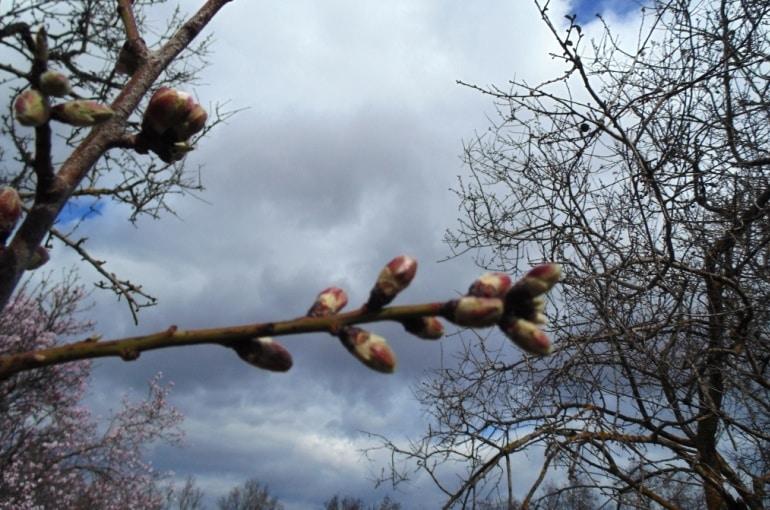 Almond Tree Propagation