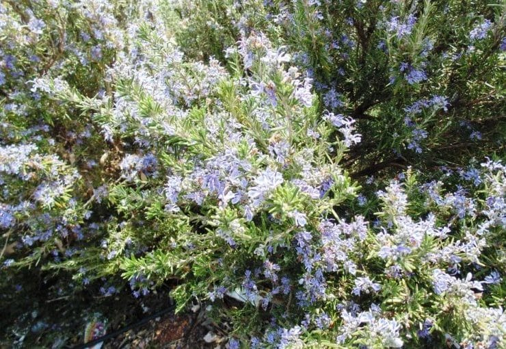 Rosemary Weed Management