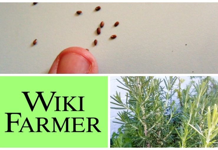 Rosemary Seeding Requirements