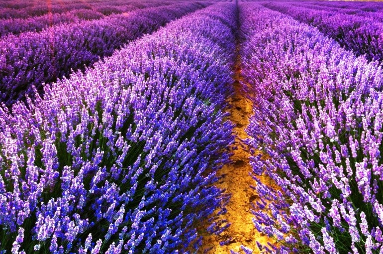 Growing lavender for profit wikifarmer - Growing french walnuts for a profit ...