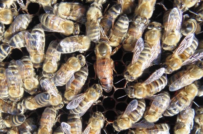 Honeybee Society Structure
