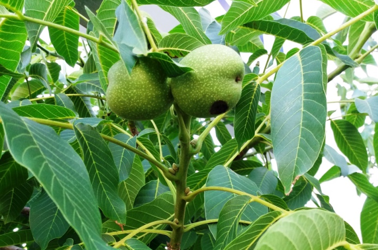 Walnut Tree Diseases and Pests