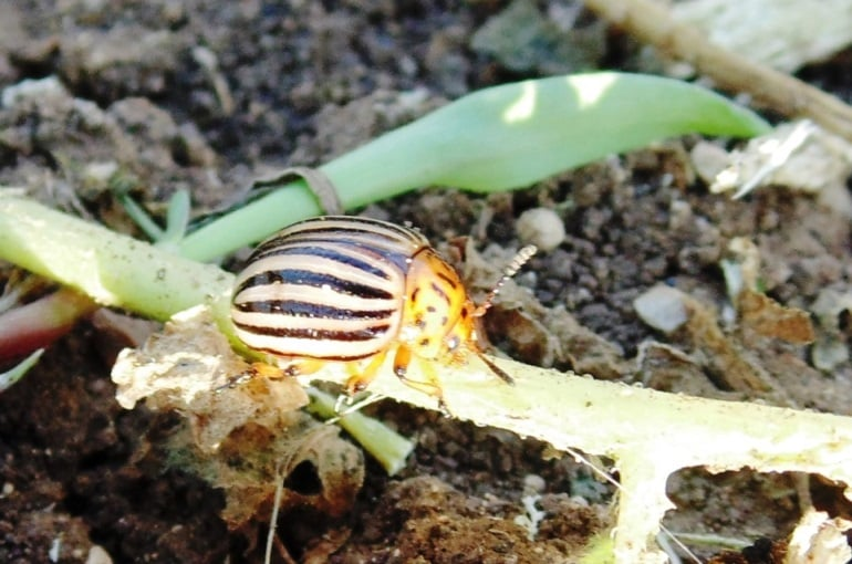 Potato Diseases and Pests